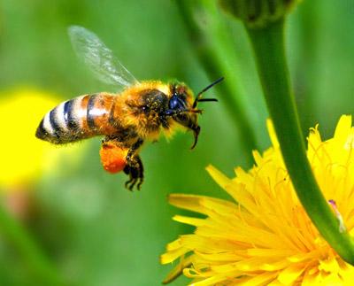 Les-abeilles-et-la-menopause-image